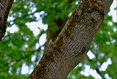 Grimpereau des jardins en recherche de nourriture.