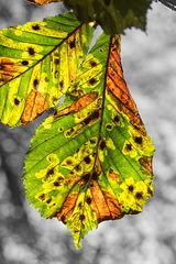 BESANCON: Une feuille de marronnier (Aesculus hippocastanum).