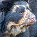 Spectacled bear (1)