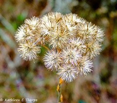 Fishhawk Preserve Wild Flower 111516-002