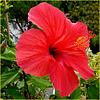 Il mio Hibiscus - (715)