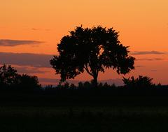 43/50 l'orme de M. Charbonneau, Mr. Charbonneau's elm tree