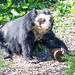 Spectacled bear (3)