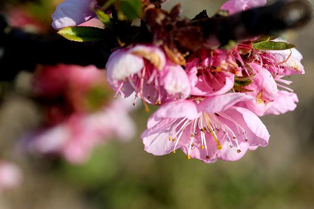fleurs de pêcher