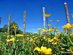 Buttercup Fence.