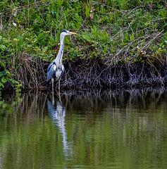A heron at Burton Mere wetlands