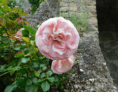 Roses de ronsard*****************