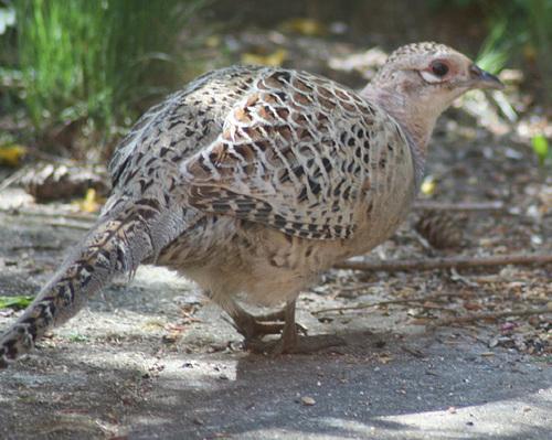 Common Pheasant (Phasianus colchicus) Hen 01