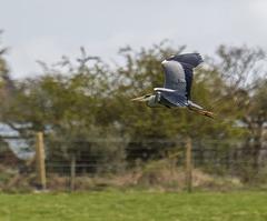 A heron in flight v6