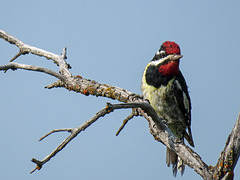 Yellow-bellied Sapsucker, adult male
