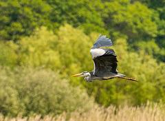 A heron in flight.a1jpg