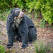 Spectacled bear (7)