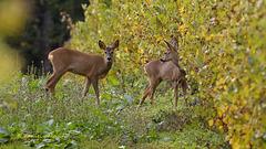 Chevreuils - Deer
