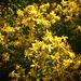 Blütensterne - florsteloj - echtes Johanniskraut