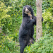 Spectacled bear (8)