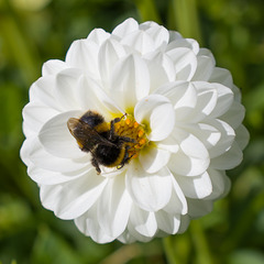 Sept 06: a dahlia and a bee