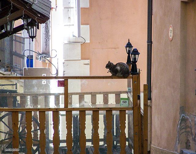 Le chat dans la clôture