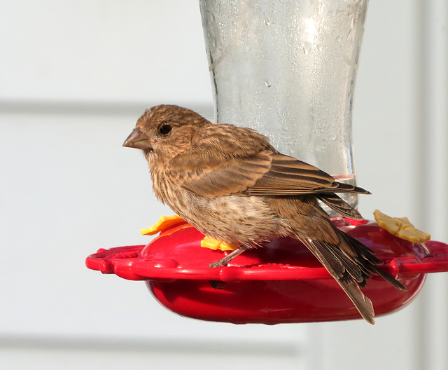 A young House finch