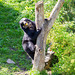 Spectacled bear climbing for apples