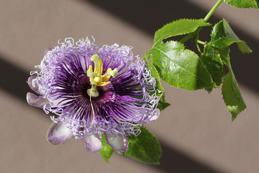 Passiflora Byron Beauty (4)