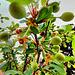 Mein Kirschbäumchen trägt zum ersten Mal Früchte... ©UdoSm