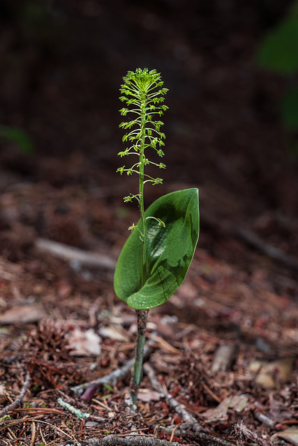 Malaxis unifolia (Green Adder's-mouth orchid)