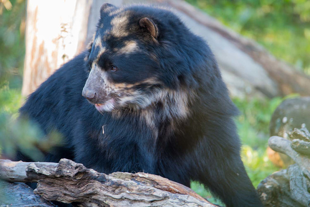 Spectacled bear, Chester zoo.