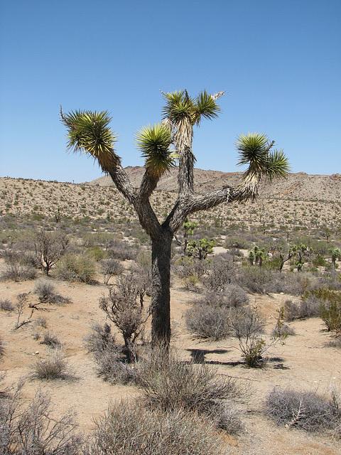 Yucca Tree at Joshua Tree National Park