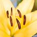 El Divo Lily Macro SOOC 092816-001