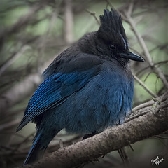 Pictures for Pam, Day 200: Steller's Jay in Full Fluff