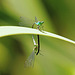 Das kunstvolle Kopulationsrad der Libellen -  The artistic copulatory wheel of the dragonflies - PiP