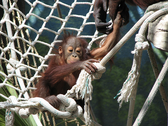 Baby OrangUtan at Phoenix Zoo