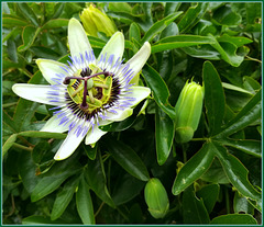 Passion Flower, one more for Pam!