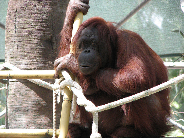 OrangUtan at Phoenix Zoo