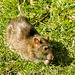 A rat looking for food at Burton Wetlands