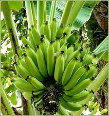 Ilhéus : queste sono le banane che crescono in centro città