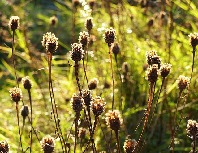 Fuzzy autumnal seedheads