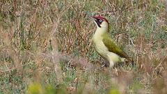 Pic vert - Picus viridis - European Green Woodpecker (femelle)