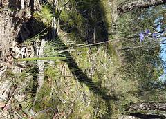 Thelymitra peniculata Full Plant