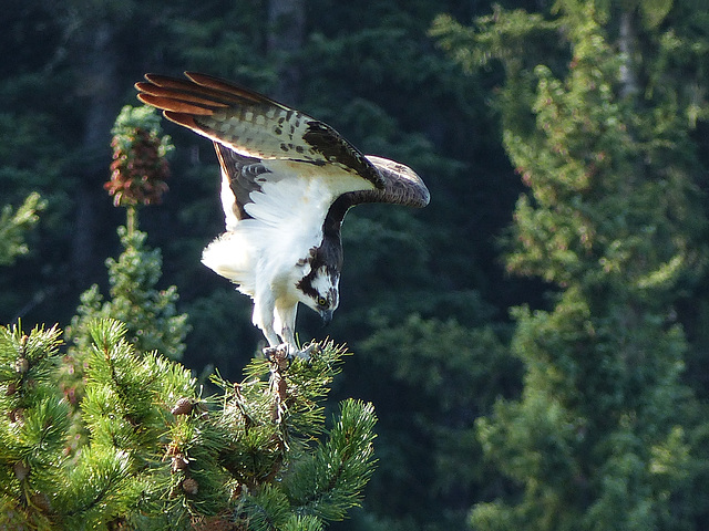 Osprey take-off