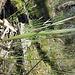 Thelymitra peniculata Leaf