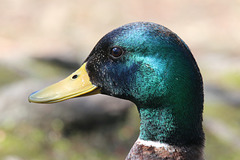 Portrait of a duck (Explored)
