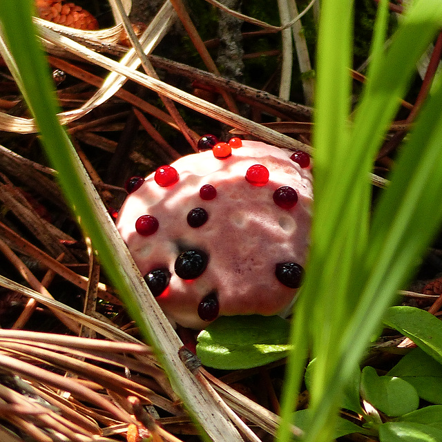 Strawberries and cream fungus / Hydnellum peckii