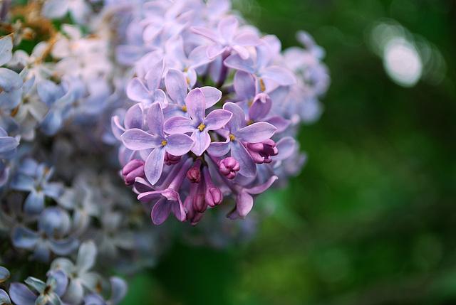 Lilacs of Winterthur