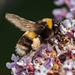 Buddleia Bee