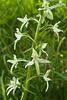 Orchis verdâtre = Platanthera chloranta, Orchidées (Haute-Savoie, France)