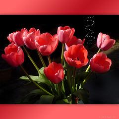 my Tulips from a flower field ☼