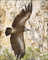 The Griffon Vulture (Gyps fulvus) Bjeloglavi sup