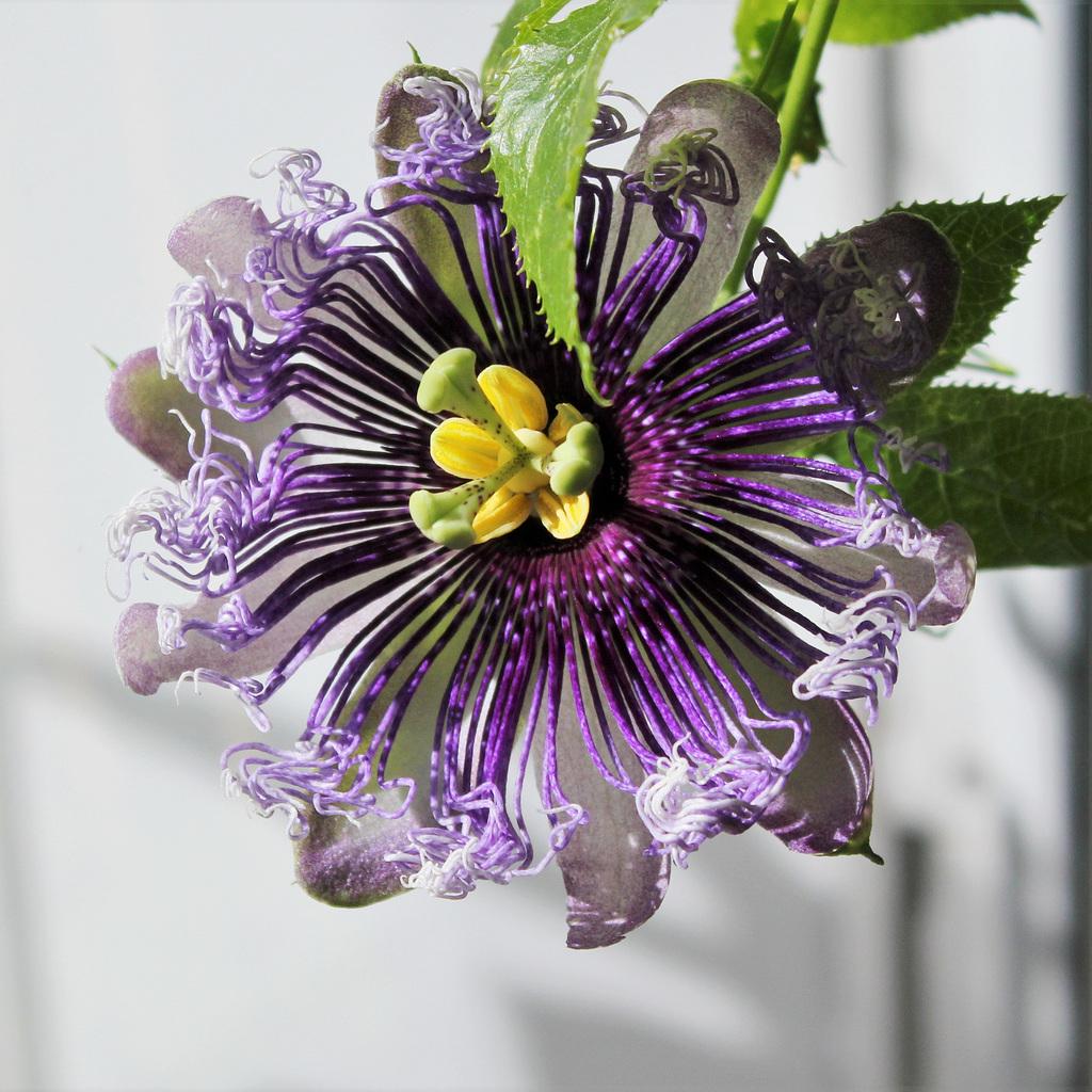 Passiflora Byron Beauty (2)
