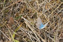 Argus bleus, le mâle et la femelle
